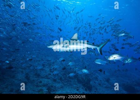Tiburón de arrecife gris (Carcharhinus amblyrhynchos) en nube de peces en el Blue Corner, Palau, Micronesia