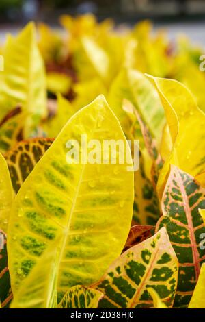Hojas de color amarillo frondoso variegadas primer plano