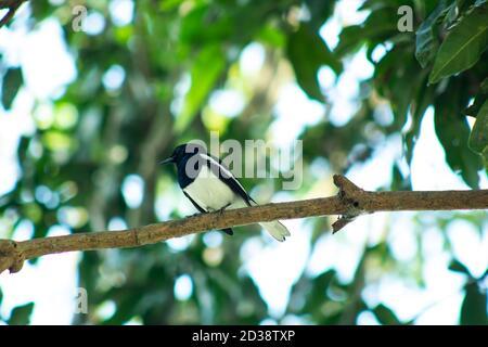 De pie solo en la cola de vagón o el pájaro Doyel blanco y negro mango Foto de stock