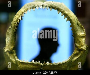 An Australian Museum curator is silhouetted in the preserved jaws of a bull shark on display at the Australian Museum in Sydney March 12, 2004. [One of the most aggressive species of sharks, bull sharks are found in oceans and estuaries around the world from the Pacific to the Amazon River and are believed responsible for many shark attacks on humans. Omniverous bull sharks often lurk in murky waters near popular swimming spots and can attack swimmers they mistake for struggling or injured fish.]