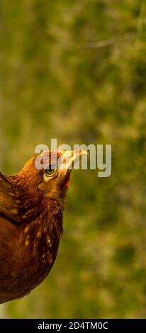 Las gallinas se alimentan en el tradicional corral rural en un día soleado. Detalle de la cabeza de gallina. Pollos sentados en el hogar. Cerca de pollo de pie en el patio del granero con la gallina coop. Cría de aves de corral de gama libre