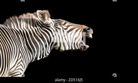 Cebra de Grevy, Equus grevyi, también conocida como cebra imperial, aislada sobre fondo negro con espacio para su texto.