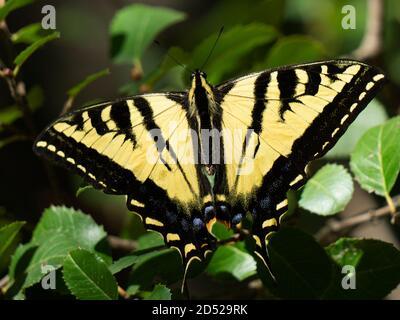 Hermosa mariposa amarilla de cola de cisne descansando sobre hojas verdes