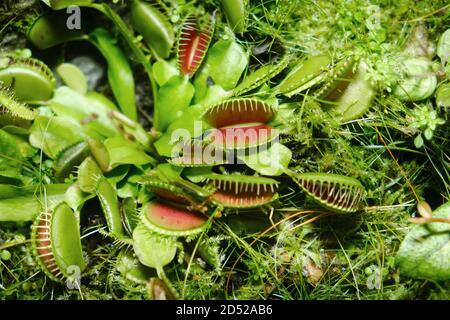 Venus trampa de vuelo (lat. Dionaea muscipula) - una especie de plantas depredadoras del género monotípico Dionea de la familia Rosyankovye (Droseraceae)