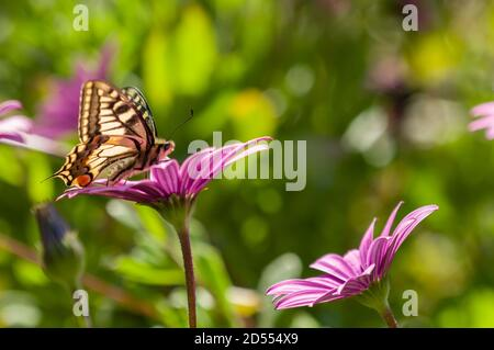 Mariposa swallowtail chupar néctar de flores de margarita púrpura