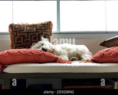 Perro mostrando la lengüeta. Lindo perro Westie. Foto de stock