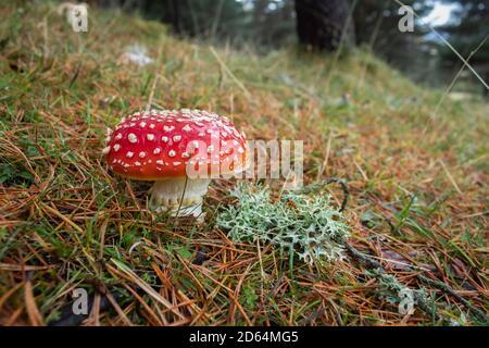 Amanita muscaria: Estos vistosos hongos rojos son altamente tóxicos.