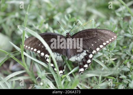 Vista superior de la mariposa de pico de pico (Papilio troilus) En la hierba de un bosque en América del Norte