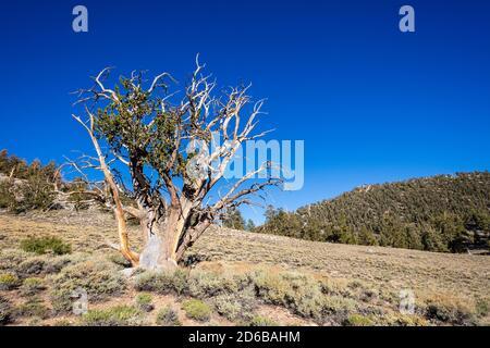 Antiguo bosque de pinos de Bristlecone en las Montañas Blancas y el Bosque Nacional de Inyo cerca de Bishop, California, EE.UU.