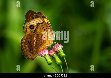 Buckeye común mariposa imagen tomada en Panamá