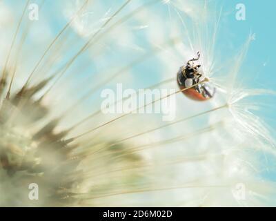 ladybug rojo sobre diente de león blanco. foto macro. verano Foto de stock