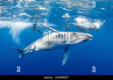 Una ballena jorobada juvenil, Megaptera novaeangliae, cavorts entre los buceadores. Moorea, Polinesia Francesa, Océano Pacífico