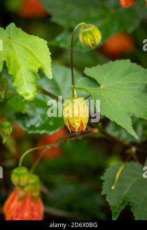 Abutilon (Souvenir de Bonn) flor y follaje verde después de una ducha de lluvia, flor natural retrato Foto de stock