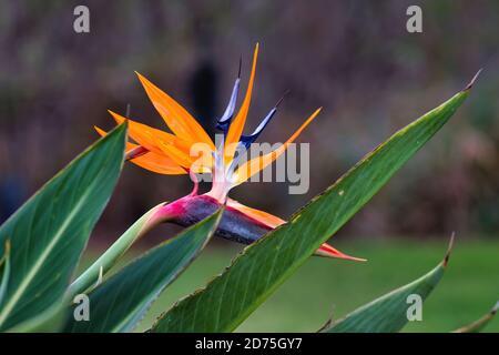 Hermoso primer plano de un pájaro brillante y colorido de flores paradisíacas.