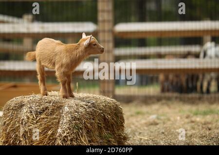 Lovely Baby Goat está en hay on Farm, Nueva Inglaterra, Estados Unidos