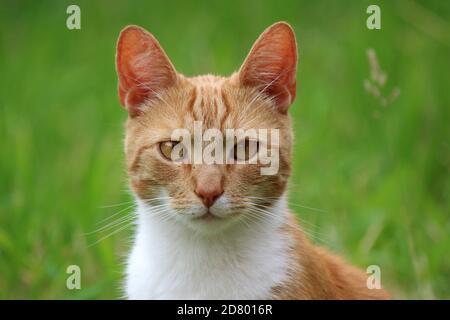 Retrato de lindo gato de jengibre. Fondo verde de hierba. Foto de verano al aire libre.