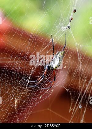 La araña Néphina madagascariensis hembra en su red