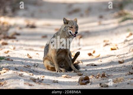 El chacal indio (Canis aureus indicus) recorre un camino en la India
