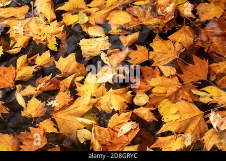 Hojas coloridas, follaje, en otoño, flotando en la superficie de un estanque,