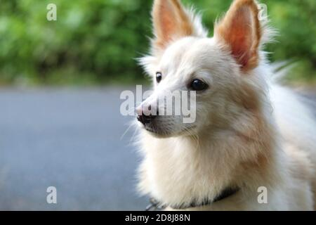 lindo perro blanco y peludo samoyed en un bonito fondo