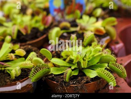 Planta depredadora Dionea Venus mosca trampa en el mercado floral para la venta, primer plano, enfoque selectivo