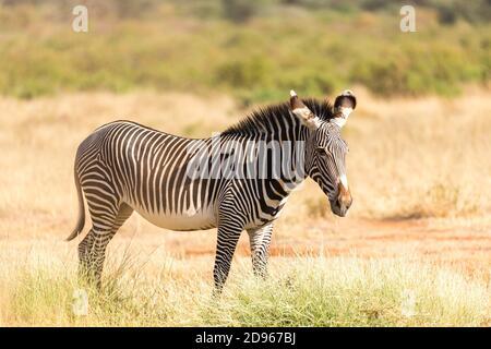 La cebra de Grevy está pastando en el campo de Samburu en Kenia.