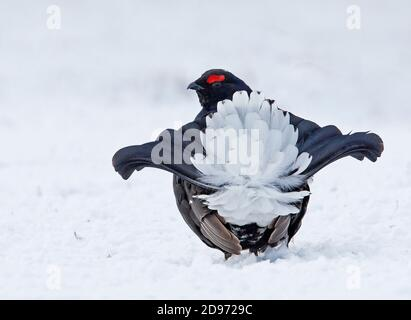Lechón negro (Lyrurus tetrix) macho mostrando sobre la nieve, Scotalnd