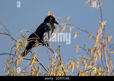 Carrion Crow (Corvus corone) en la parte superior de un abedul en primavera, Country Garden, Lorena, Francia