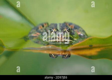 Rana verde (Pelophylax kl. Esculentus) sobre una hoja de nenúfar, Alsacia, Francia