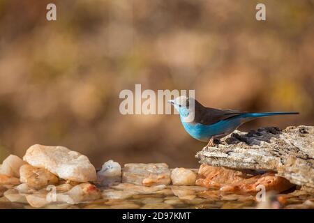 Macho cordonbleu de pecho azul (Uraeginthus angolensis) en el pozo de agua del Parque Nacional Kruger, Sudáfrica
