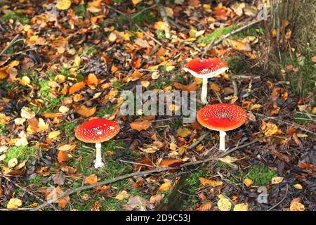 Red Fly Agaric, Amanita muscaria, creciendo en un bosque de pinos cerca de Haltern, Alemania