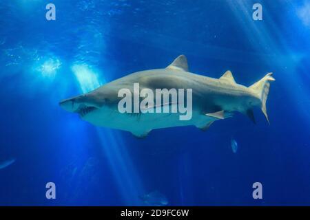 Tiburón posando en el agua azul profundo