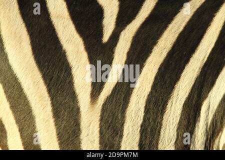 Primer plano de Plains Zebra (Equus quagga) piel con piel en un patrón simétrico. Foto de stock