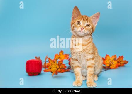 Pequeño gatito rojo y hojas de otoño sobre fondo azul