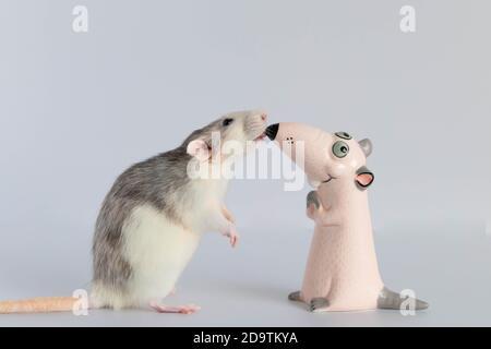Una linda rata decorativa pequeña se pone de pie en sus patas traseras y mira la figurilla de juguete. Retrato de un roedor de cerca. De nariz a nariz.