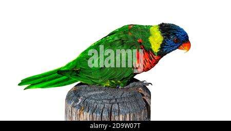 Rainbow Lorikeet (Trichoglossus moluccanus) de pie sobre un antiguo poste de madera, aislado sobre fondo blanco con camino de recorte.