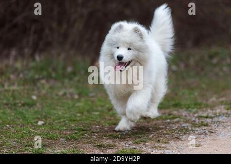 Samoyed - Samoyed hermoso perro blanco siberiano raza. Cachorro de cuatro meses de edad en una caminata.