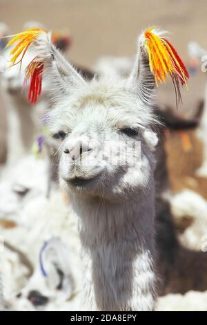 Llama, close-up, Bolivia, América del Sur