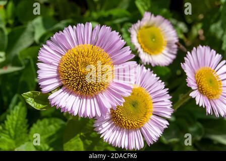 Margarita costera (Caucus de Erigeron) en flor