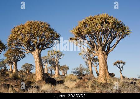 Geografía / viajes, Namibia, Keetmanshoop, bosque de árboles de quiver, Derechos adicionales-Clearance-Info-no-disponible