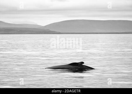 Observación de ballenas en Husavik, Norte de Islandia, Europa