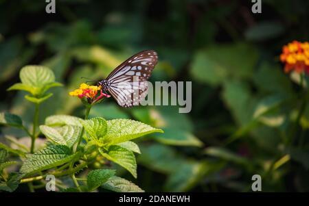 Hermoso primer plano de un azul Glassy mariposa de alimentación de tigre miel en una flor amarilla con fondo verde borroso