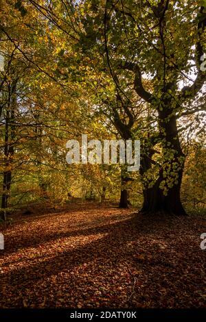 La luz del sol del otoño a través de árboles del bosque crea una alfombra dorada de hojas y colores de follaje impresionantes, Middleton Woods, Ilkley, W Yorkshire, Inglaterra, Reino Unido