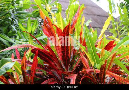 Follaje colorido de las plantas de Croton de Fuego en el Jardín