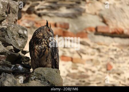 Un gran búho de orejas marrón se asienta sobre un antiguo muro de piedra. Bubo bubo, cerca. Búho águila euroasiática Foto de stock