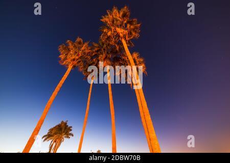 Altas palmeras bajo un cielo despejado durante la noche, California