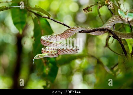 Espino oriental o serpiente de la Vina asiática en el árbol, (Ahaetulla prasina) Parque Nacional Tangkoko. Sulawesi, Indonesia, vida silvestre