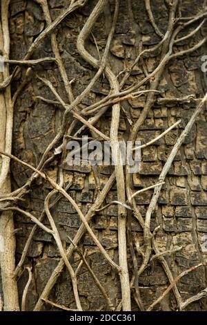 Los viejos tallos trepadores de Ivy hacen un interesante patrón de textura en el tronco de un gran sicamore que una vez apoyó la planta trepadora.