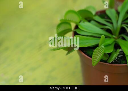 maceta venus mosca trampa (Dionaea muscipula) planta carnívora closeup