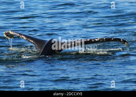 La cola de una ballena jorobada como está buceando En los mares Salish cerca de Vancouver